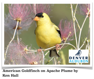 American Goldfinch on Apache Plume